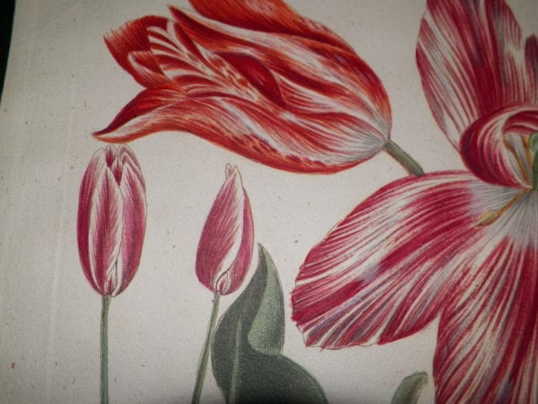 Weinmann Tulips 18th Century hand colored copper plate engraving on hand made hand laid rag.