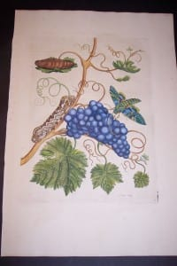1730 Maria Sybilla Merian Grapes from Insects of Surinam