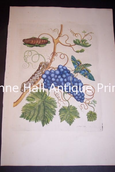 1730 Maria Sybilla Merian 74.  Grapes from Insects of Surinam