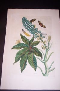 1730 Maria Sybilla Merian Castor from Insects of Surinam