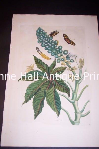 1730 Maria Sybilla Merian Castor from Insects of Surinam