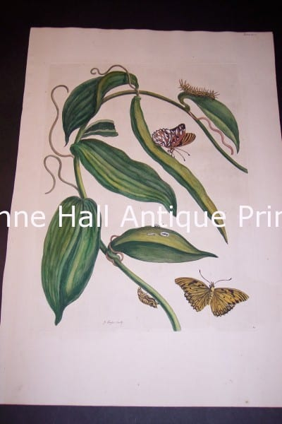 1730 Maria Sybilla Merian Vanilla from Insects of Surinam