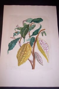1730 Maria Sybilla Merian Cocoa from Insects of Surinam