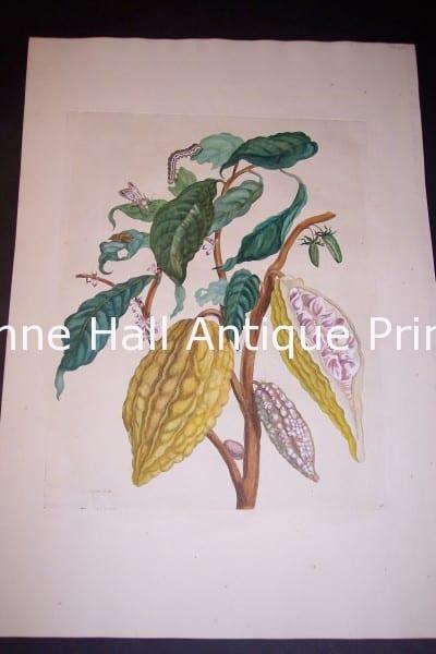 1730 Maria Sybilla Merian Cocoa from Insects of Surinam