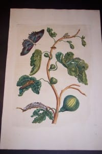 1730 Maria Sybilla Merian Figs from Insects of Surinam
