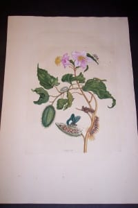 1730 Maria Sybilla Merian Insects of Surinam