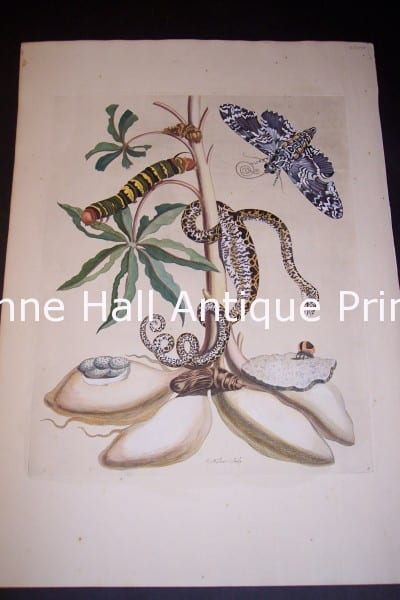Maria Sybilla Merian-84 from Insects of Surinam