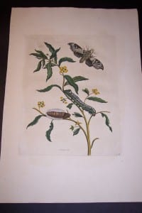 Maria Sybilla Merian Insects of Surinam