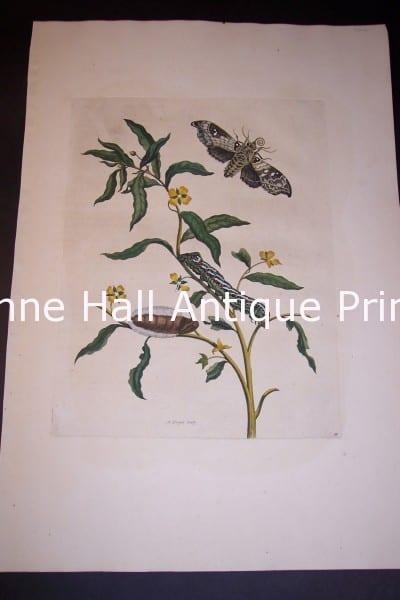 Maria Sybilla Merian Insects of Surinam Plate 39-85/