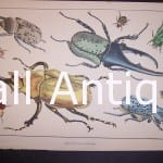 Oliver Goldsmith Insect Print of Beetles