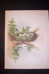 Thomas Gentry Nest 1888 0211 85.