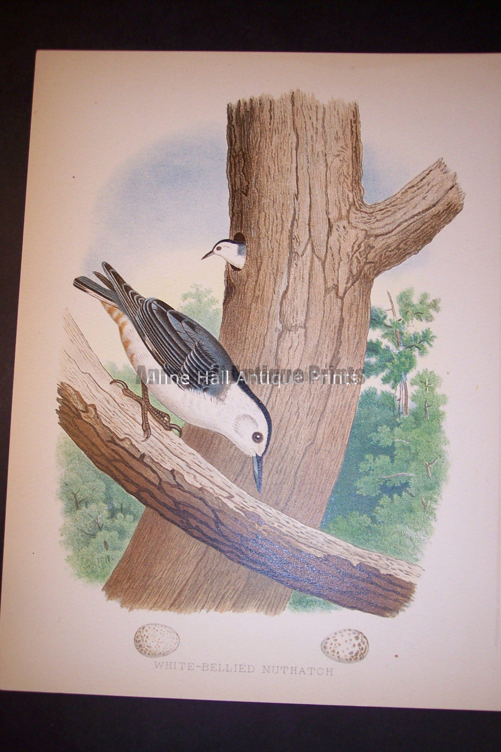 """Thomas Gentry American Bird Chromolithograph 9 1/4 x 12"""" from 1888. 0212 Nuthatch 100."""