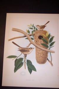 Thomas Gentry Bird chromolithograph from 1888. 0214 85.