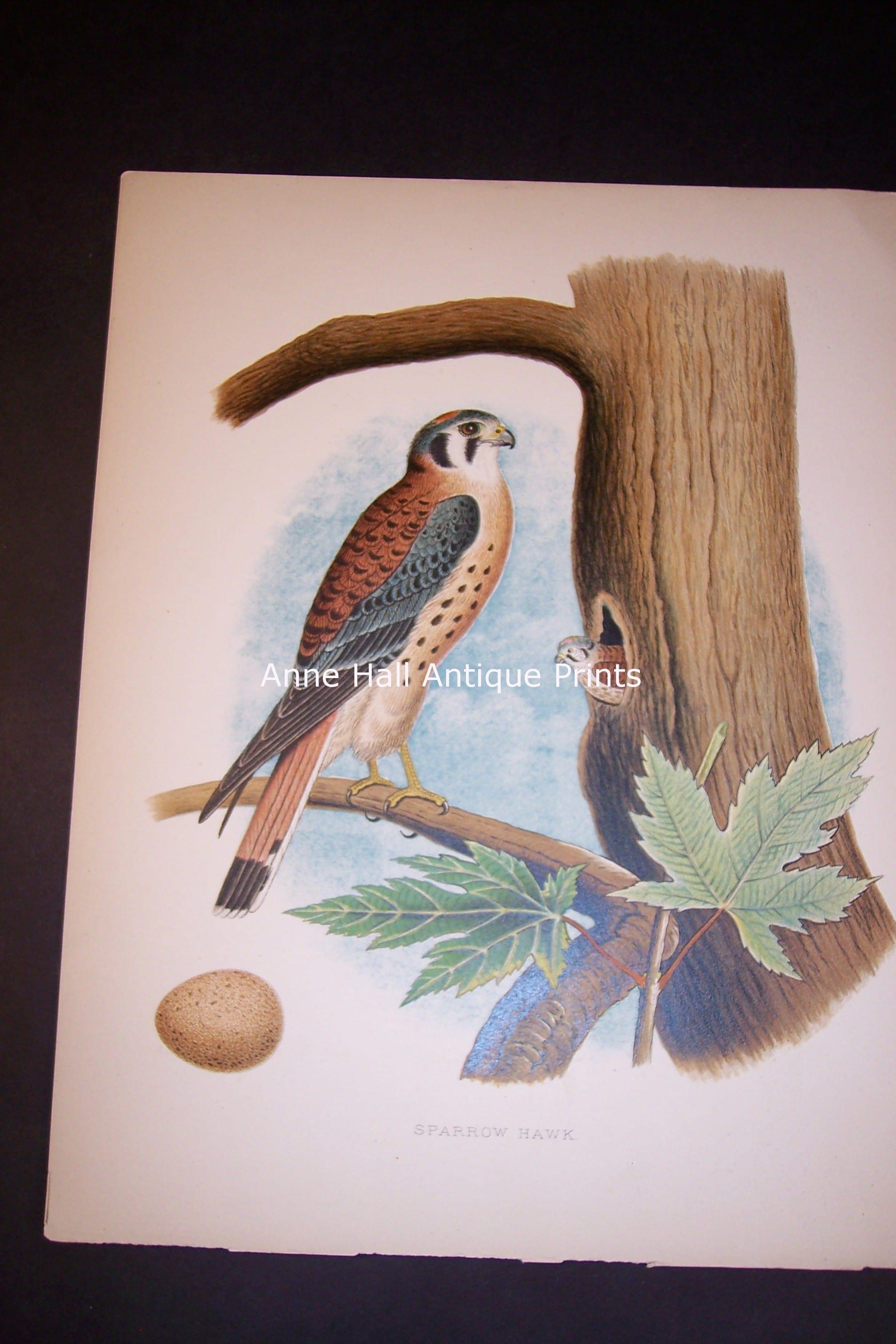 "Thomas Gentry Bird chromolithograph from 1888. 9 14"" x 12"""