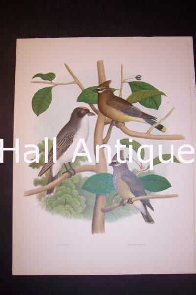 Thomas Gentry Bird Chromolithograph 0217