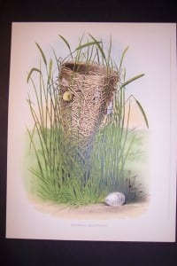 Thomas Gentry Red Wing Blackbird's Nest Chromolithograph 0218 125.