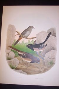 Thomas Gentry Bird Chromolithograph 0219