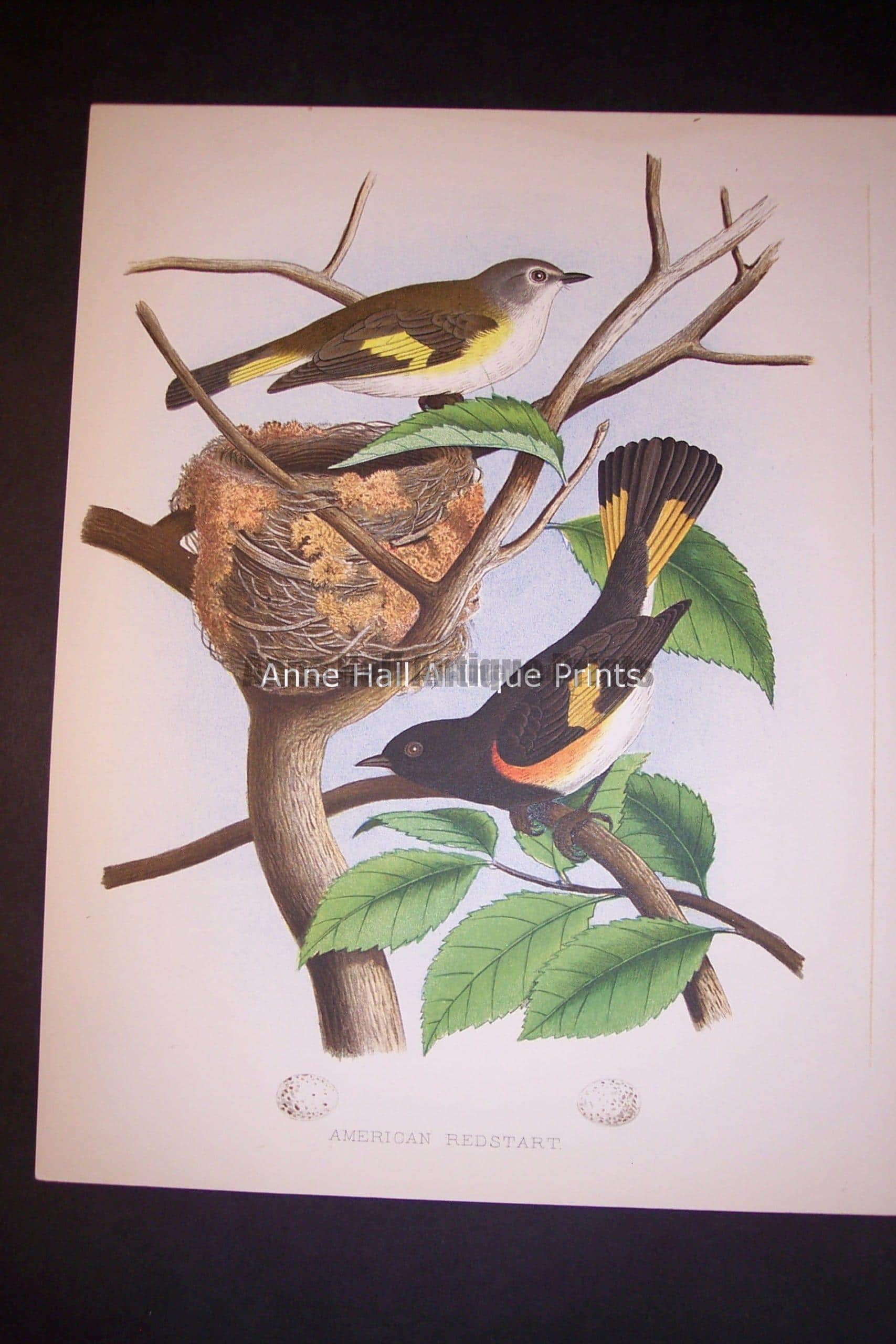 Thomas Gentry Chromolithograph from 1882 American Redstart 0222 100.