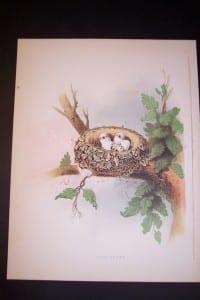 Thomas Gentry Bird Nest Chromolithograph from 1882. Wood Peewee. 0224 125.
