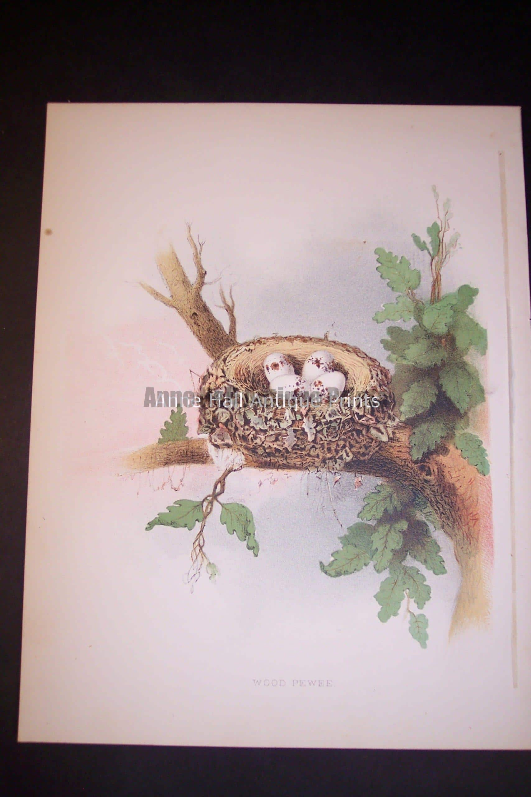 Thomas Gentry Bird Nest Chromolithograph from 1882. Wood Peewee. 0224 125.