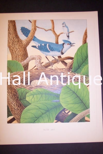 Thomas Gentry Chromolithograph Blue Jay 0226 135.