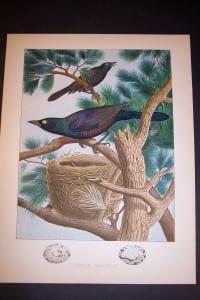Thomas Gentry Purple Grackle Nest Print 0227 110.