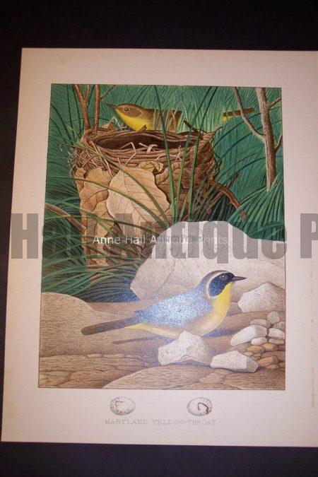 Thomas Gentry Chromolithograph Maryland Yellow Throat 0229