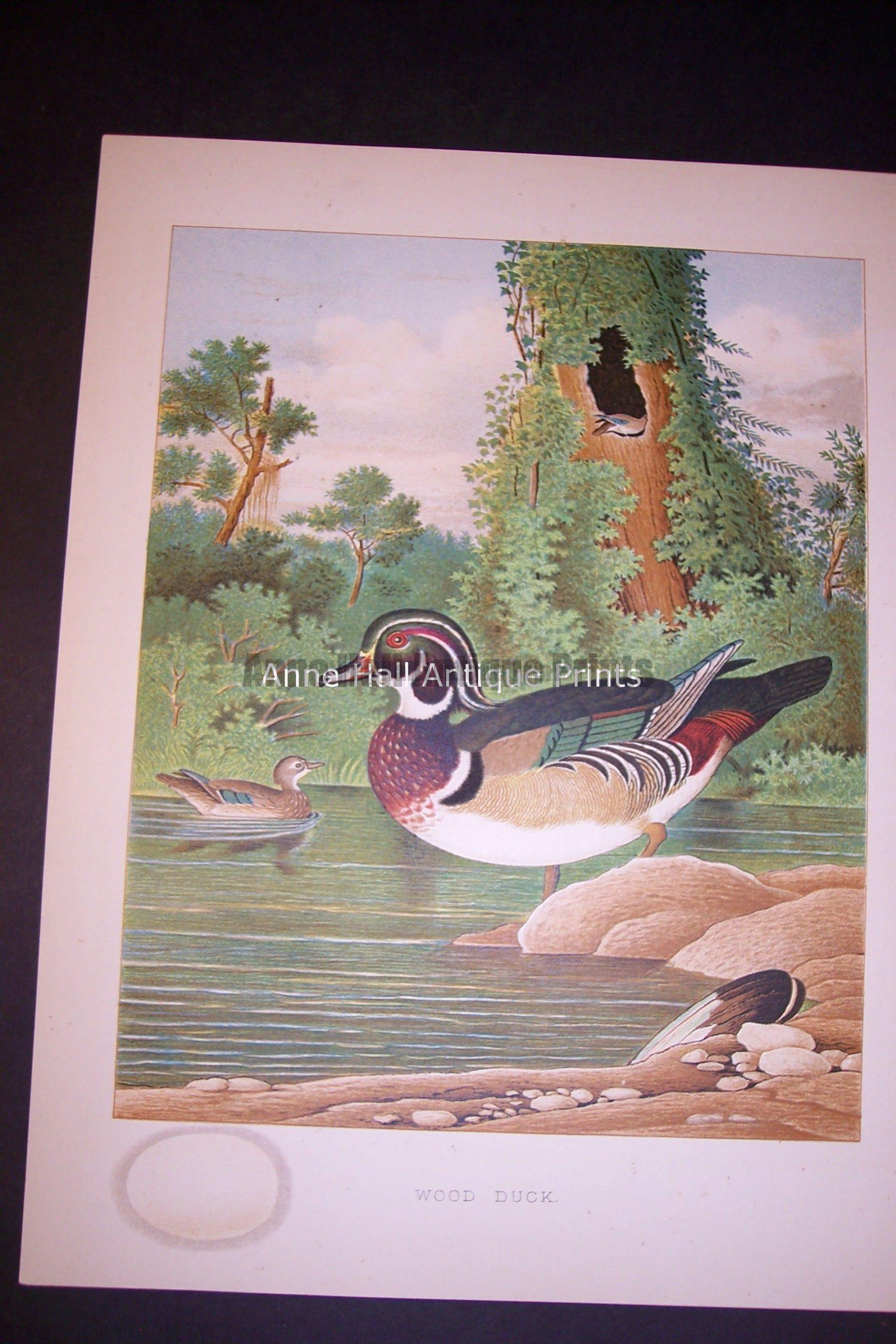 Thomas Gentry Wood Duck Print. Old Chromolithograph 0230