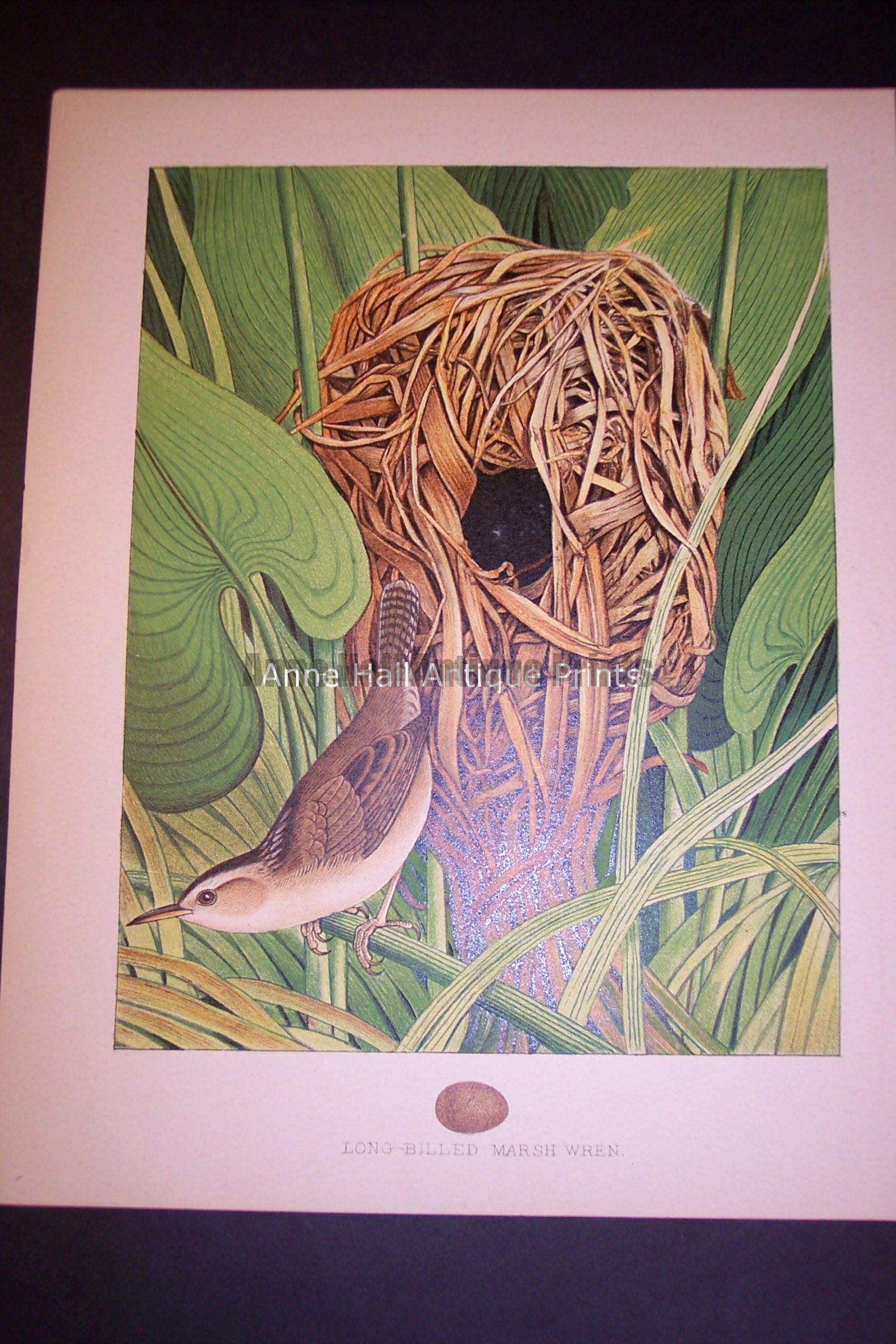Thomas Gentry Chromolithograph Wren 0231 125.