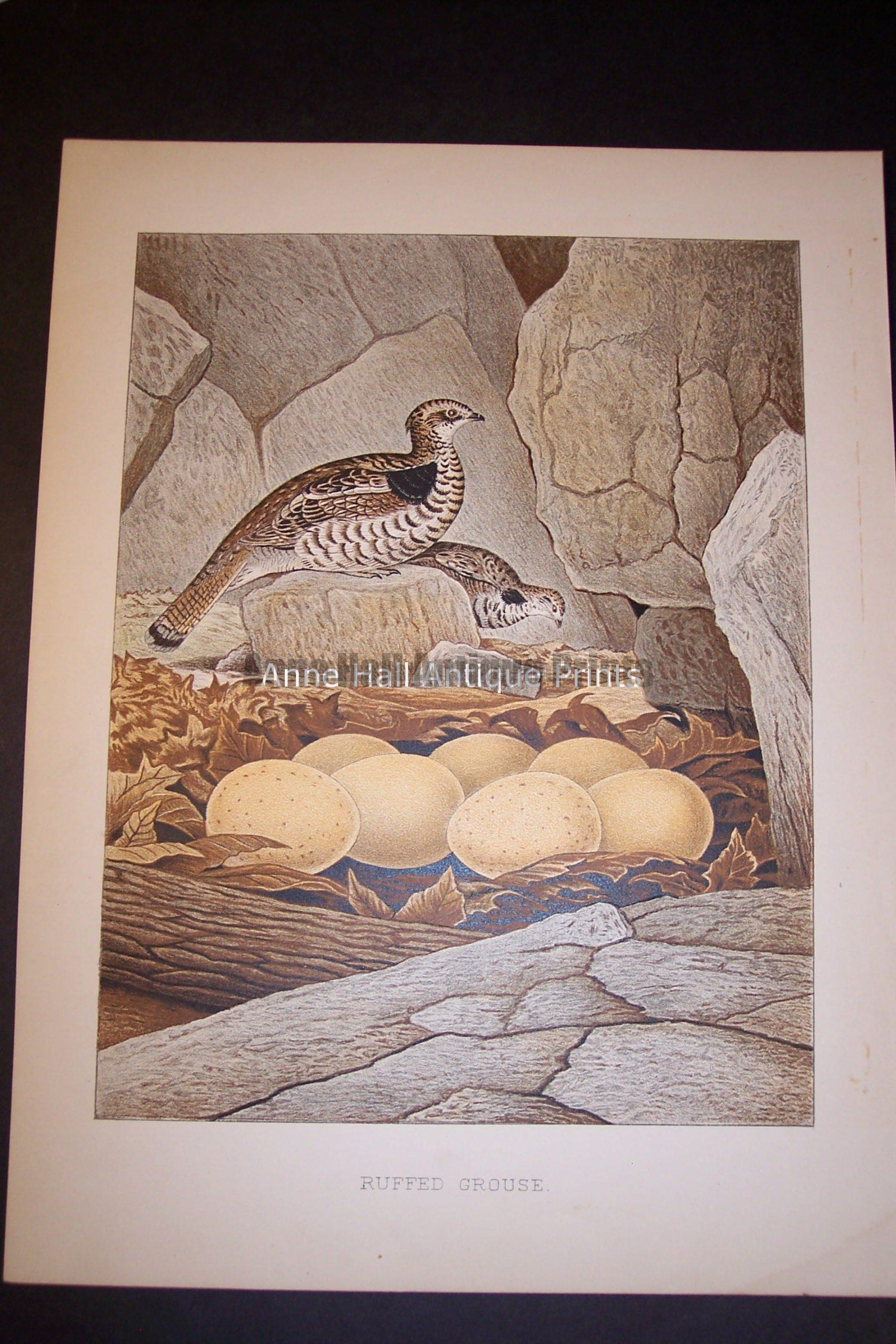 Thomas Gentry Bird Print Ruffed Grouse. 0232