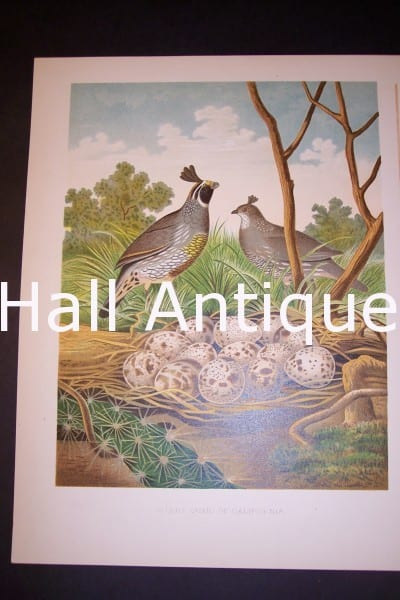 Thomas Gentry California Quail bird and nest print 0233