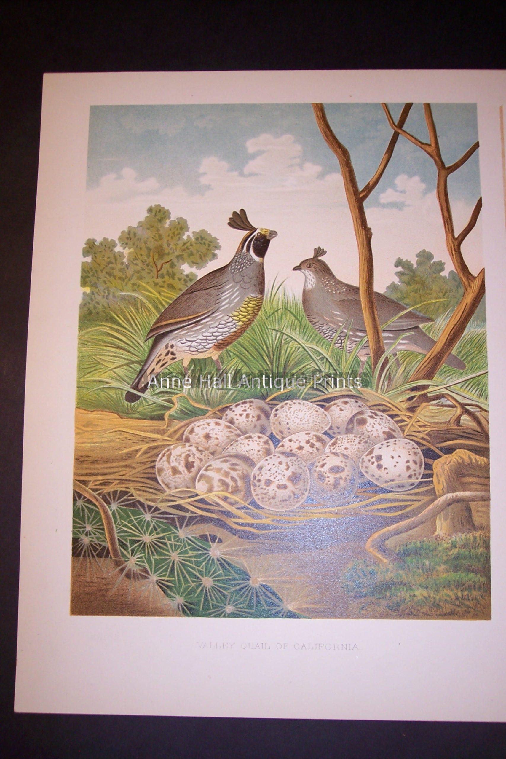 Thomas Gentry California Quail bird and nest print 0233