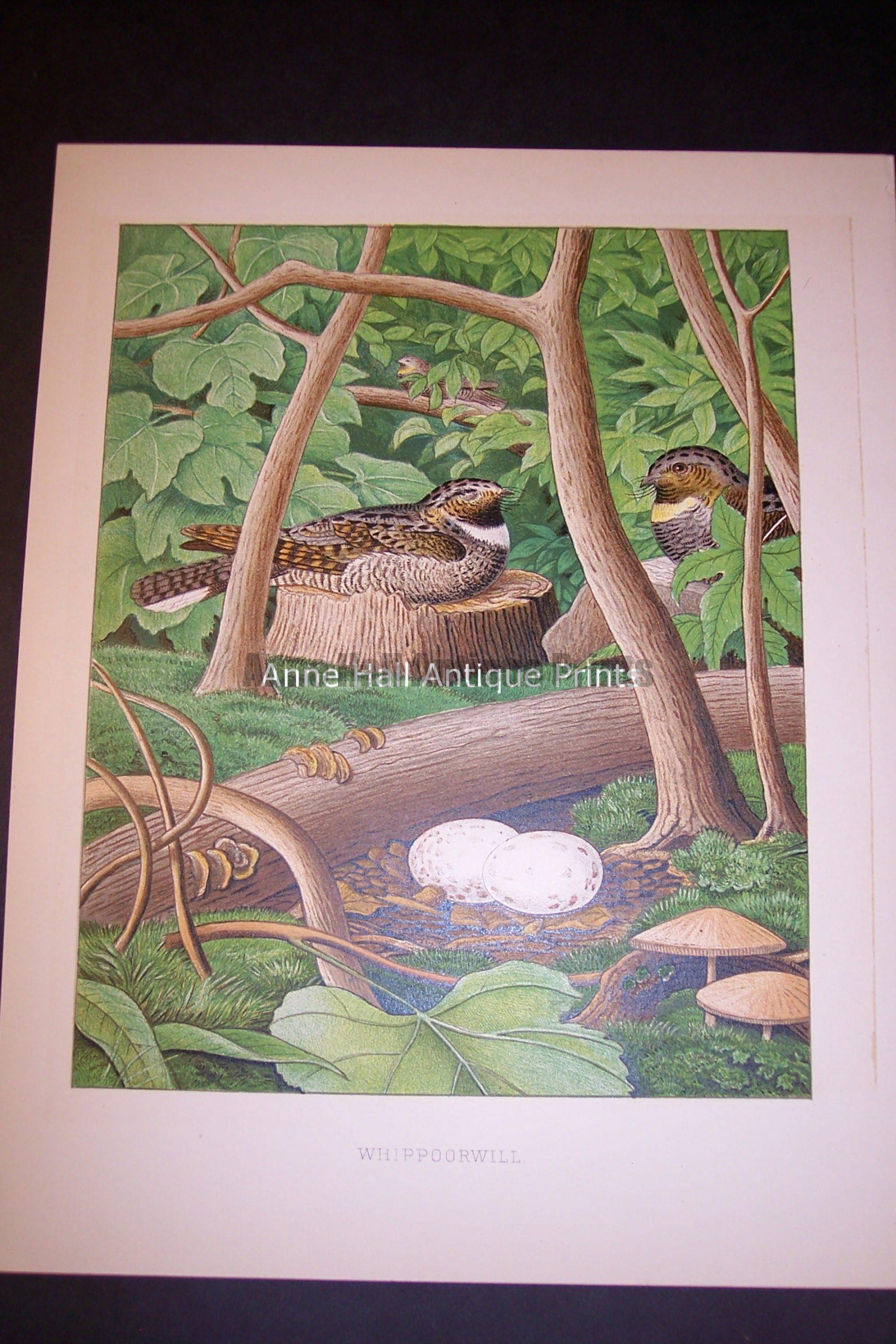 Thomas Gentry Chromolithograph Whippoorwill 0234
