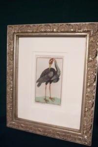 0243 Old engraving of water bird by Buffon
