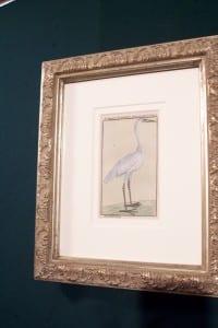 0244   Old engraving of water bird by Buffon