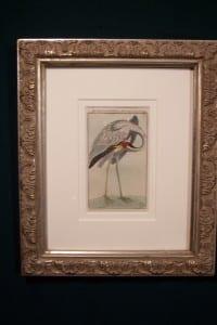 0245   Old engraving of water bird by Buffon