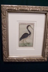 0246   Old engraving of water bird by Buffon