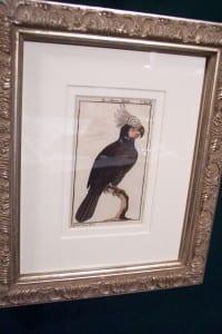 0247   Old engraving of water bird by Buffon