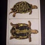 Wilhelm turtle illustration 388