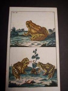 Wilhelm Frog Print 393