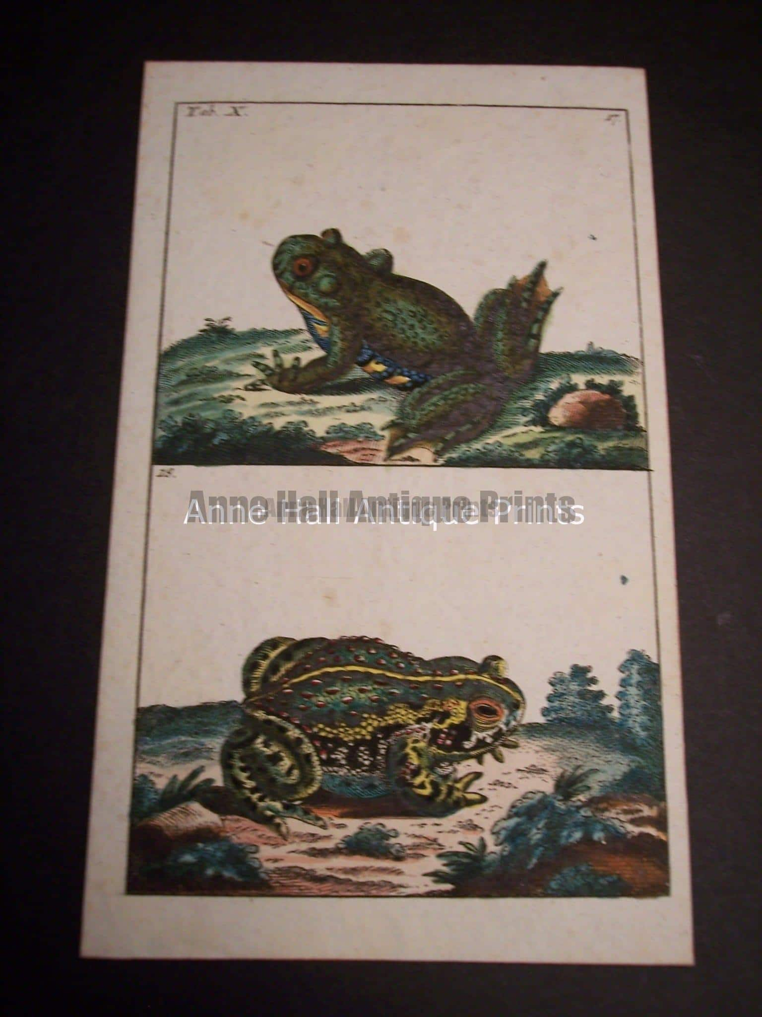 Wilhelm Frog Hand Colored Engraving 0394 $75.