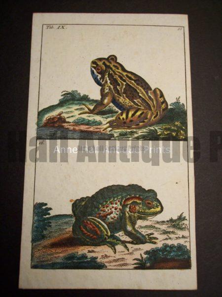 Wilhelm Frog Print 395