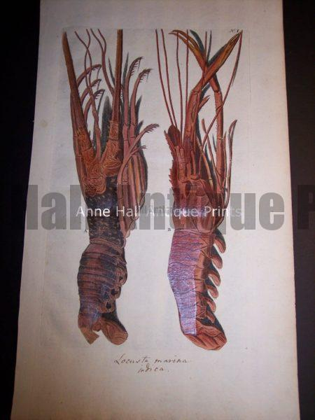 Rhumph American ? Lobster Engraving from c.1730. $850.