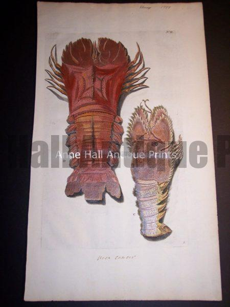 Rhumph Sea Life Print from c. 1730 of Lobsters 100_0401 750.
