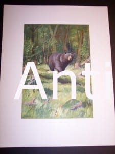 c.1900 American Photo-litho of Bear