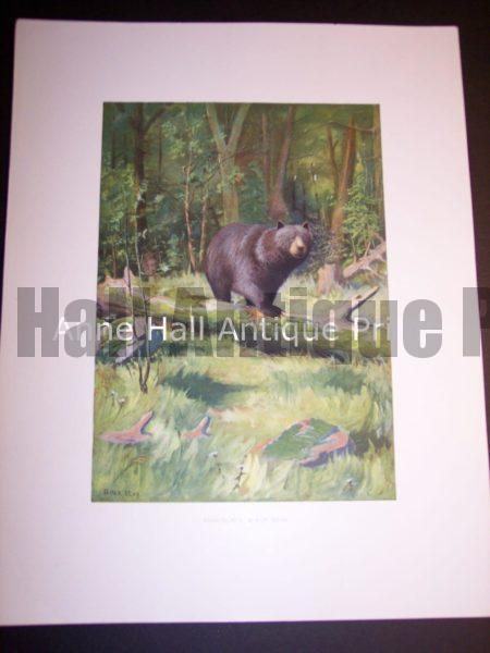 c.1900 American Photo-litho of Bear