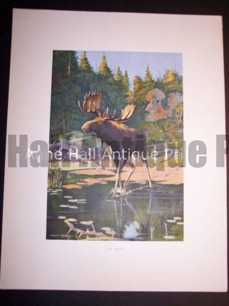 c.1900 American Photo-litho Moose