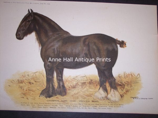 stunning antique lithograph of black draft horse with white stocking.