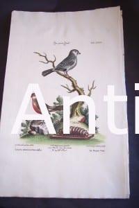 Seligmann George Edwards Bird 0632