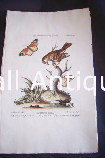Seligmann George Edwards Bird 0634
